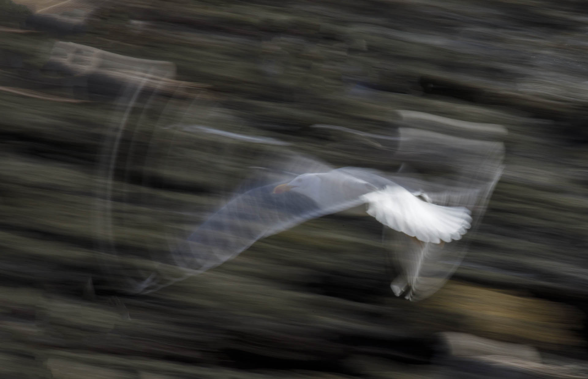 Flying gull with transparant wing