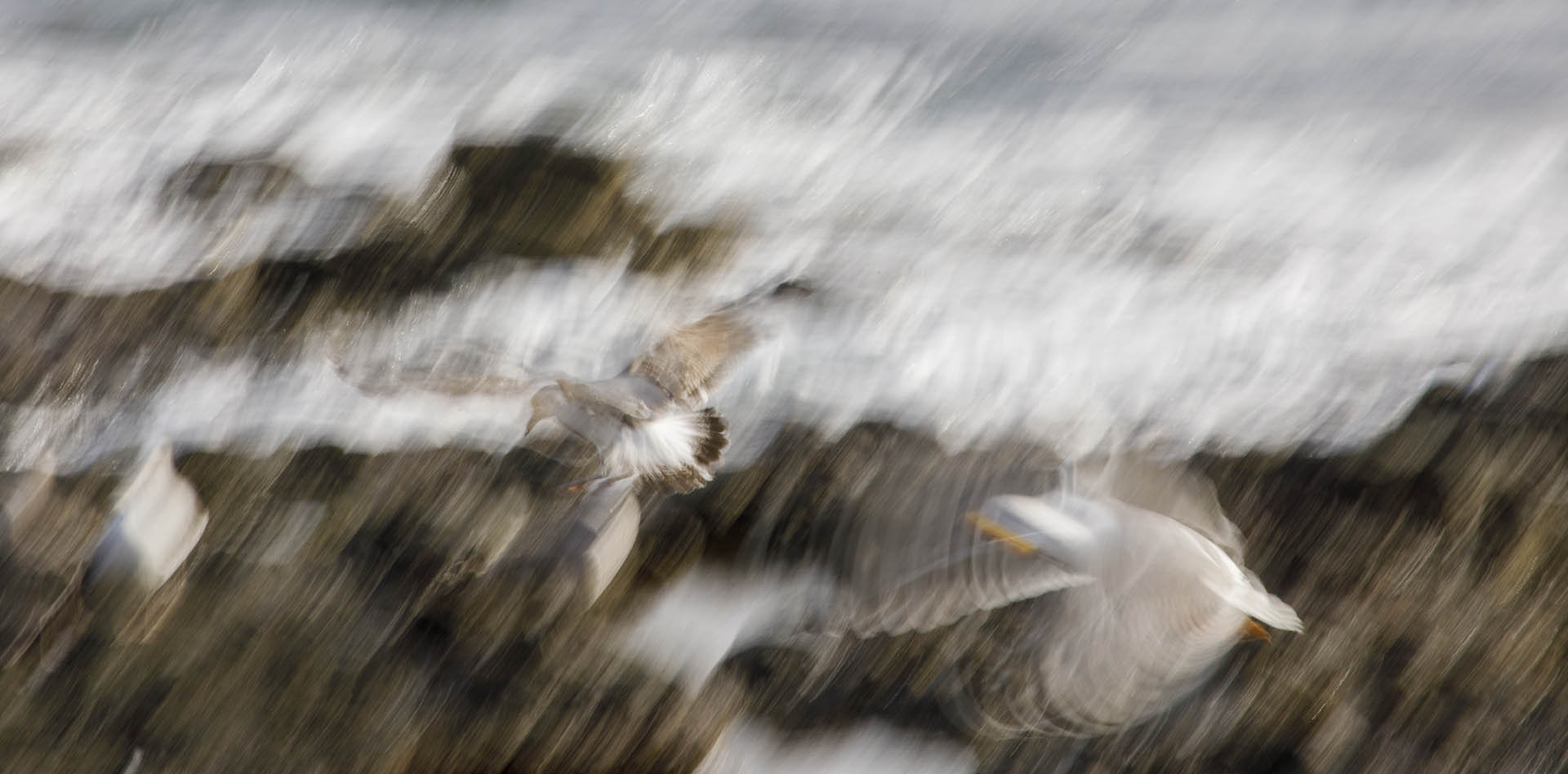 Two gulls chasing each other ICM